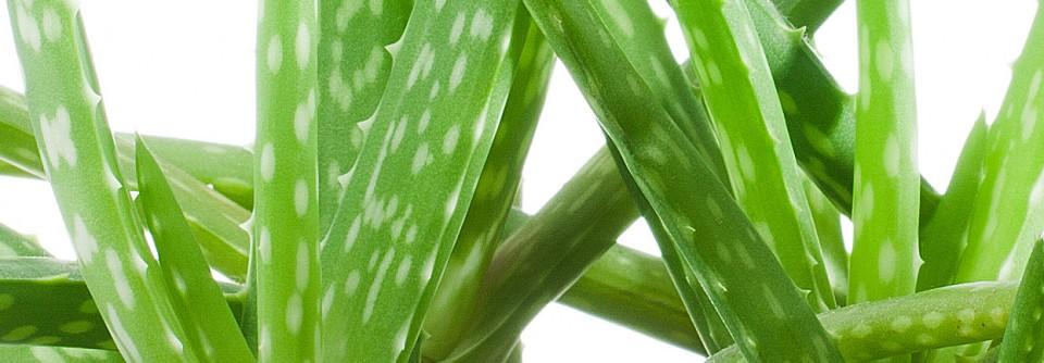 Aloe Vera ingrediente produse naturale Sabio